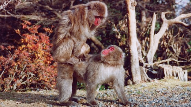 A female Japanese macaque mounts another female (Credit: Paul Vasey)