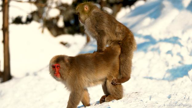 Japanese macaques (Macaca fuscata) mating (Credit: blickwinkel / Alamy)